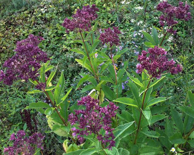 Joe pye weed eupatorium purpureum rooting for ideas for Joe pye weed