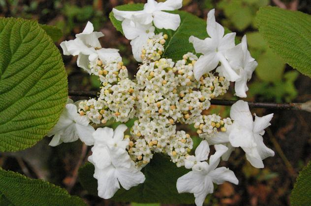 hobble bush- Viburnum lantanoides