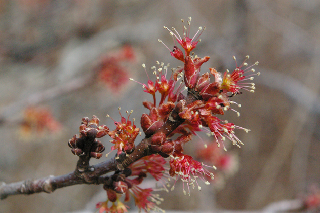Flower of maple tree