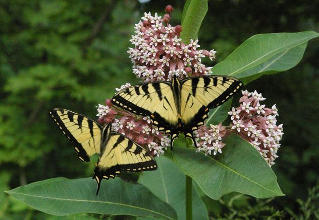 milkweed butterflies