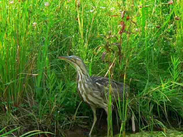 American bittern- wild life shows up at pond when area is protected by plants.