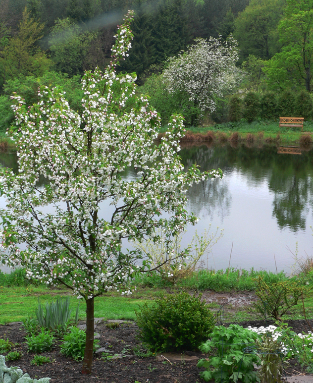 The value of small ornamental trees rooting for ideas for Small ornamental trees