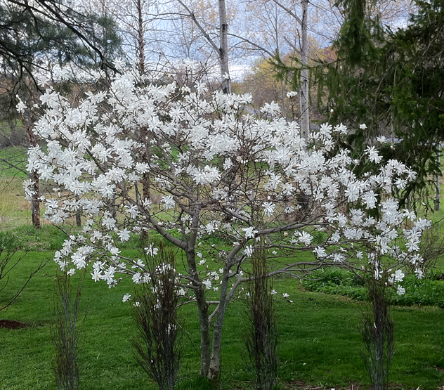 Magnoila Stellata, 2nd tree to bloom for me in the spring.