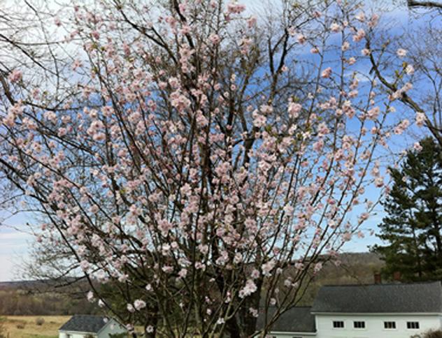 Prunus subhirtella-Autumnalis -Higan Cherry