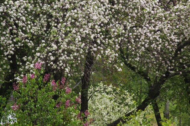 apple blossom & lilacs in bloom
