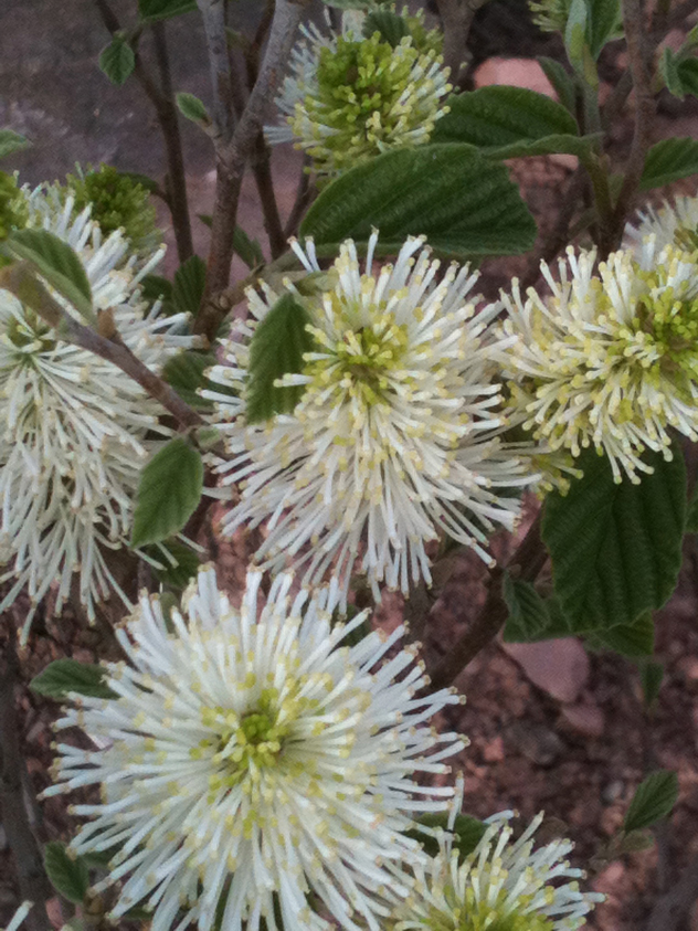 Fothergilla Gardenii in flower