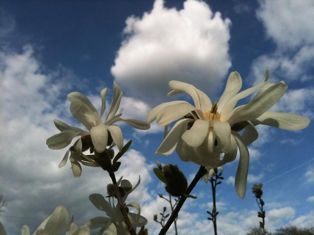 detail magnolia Stellata