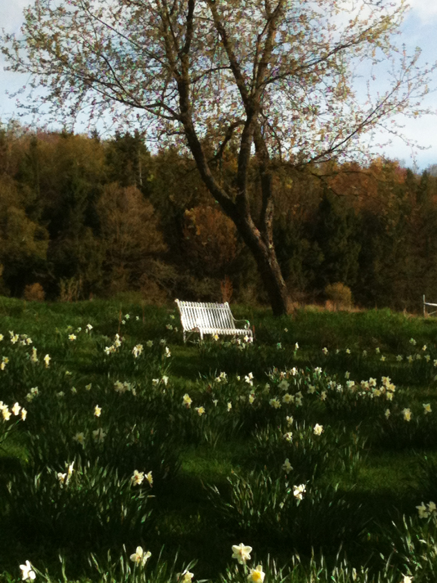 old metal bench painted white in daffodils walk