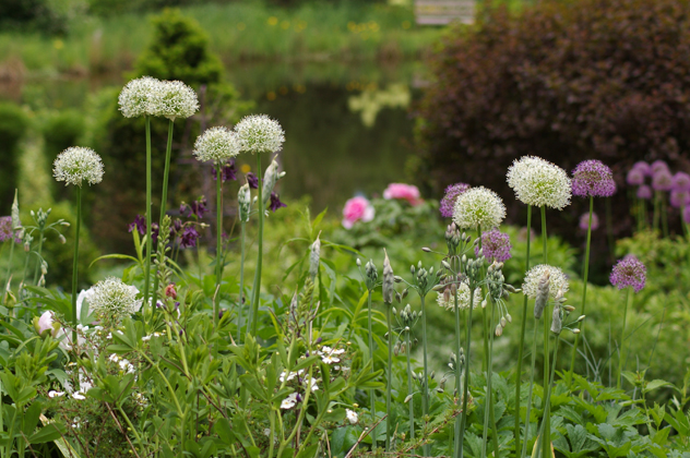Allium white giant,