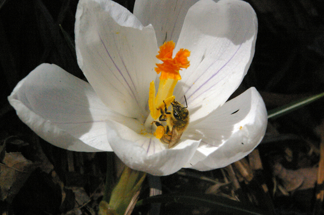 Apies mellifera on crocus. photo By David J. Turan
