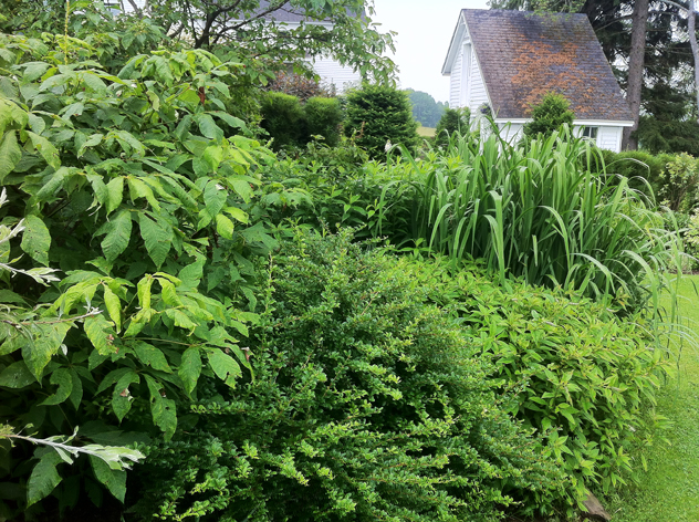 Sea of green textures: Rhamnus fineline, bottlebrush buckeye, berberis Sparkle, yellow flag iris.