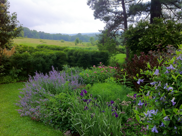 Rhamnus 'Fineline' hedge in distance