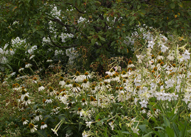 Echinacea White Swan and Nicotiana work best in the white garden