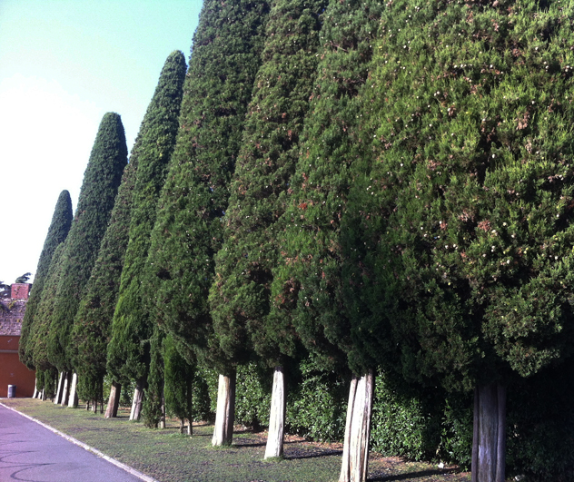 Cypress often line roads