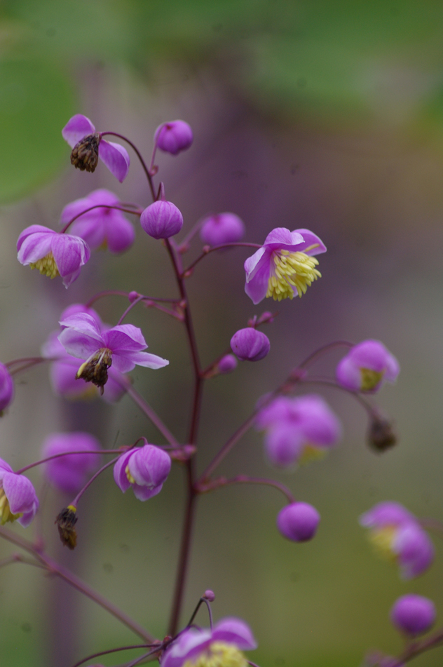 Thalictrum Lavender Mist -one of the pinks
