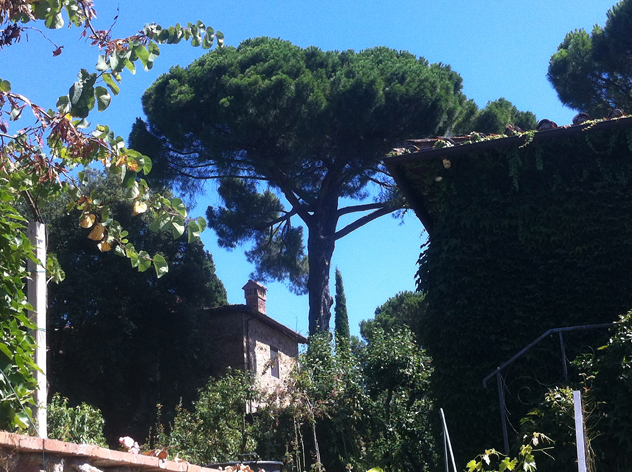 Stone pine provide much needed shade