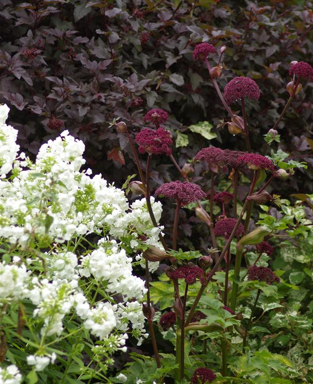 White flowers phlox is jarring against the copper leaf of ninebark