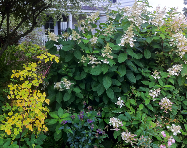 Delicate yellow leaves of Thalictrum Lavender mist & Hydrangea Tardiva