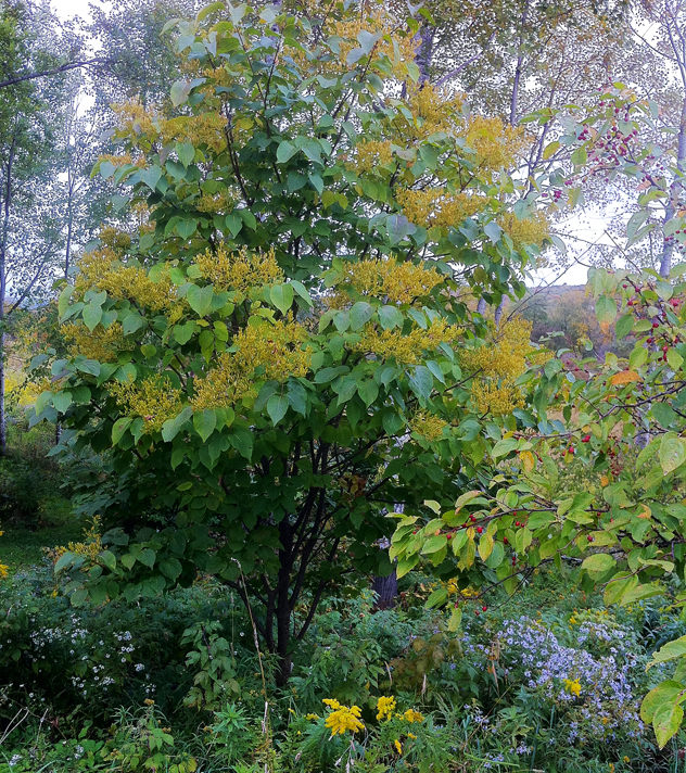 Syringa  reticulata- lilac tree