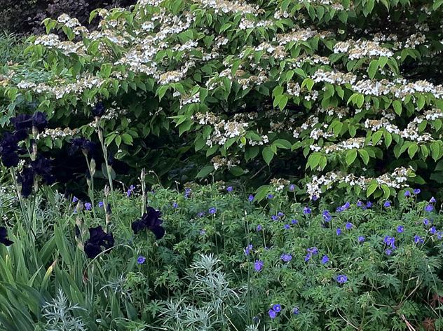 Viburnum Plicatum Summer Snowflake