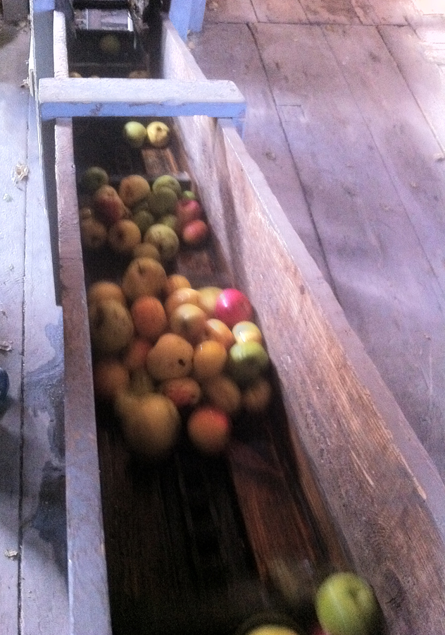 Apples going down chute after being washed into the hopper for mashing
