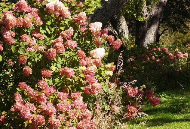 Limelight hydrangea turned to dusty pink