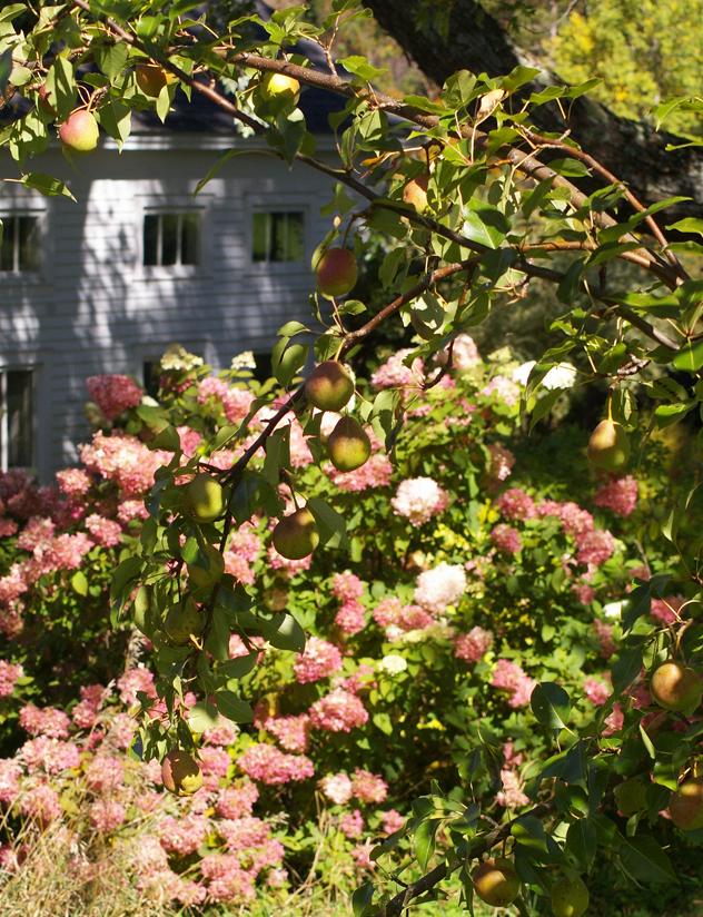 Pears and Limelight hydrangeas