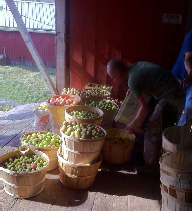 Our mixed collection of apples before mashing