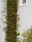 Climbing hydrangea leafing out
