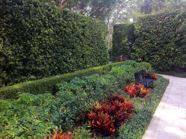 Japanese Yew Hedges