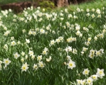 Ice Follies Daffodils