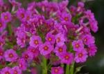 Japanese Primula