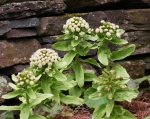 Petasites japonicus in flower