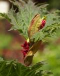 Rheum Palmatum in flower