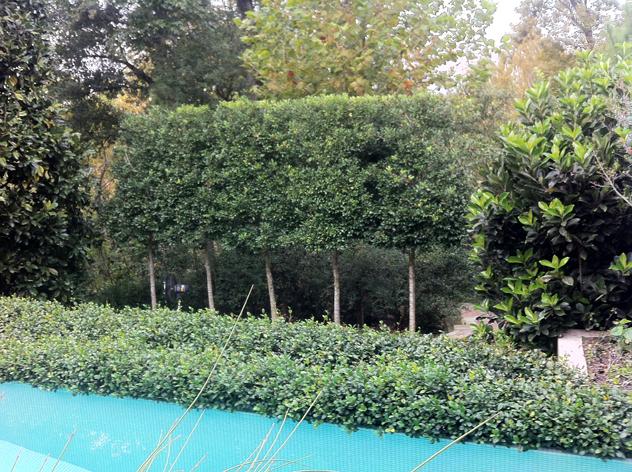 Johnny Steele garden: Standardized trees near pool