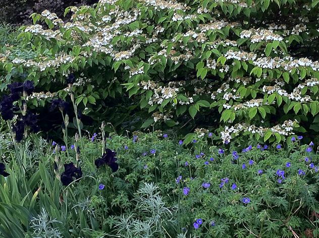 Viburnum 'Snowflake' in glower in June