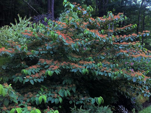 Viburnum 'Shasta' photographed in Mermer Blakeslee's Garden