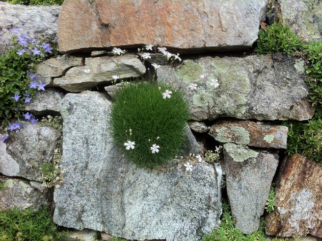 Alpine growing in wall