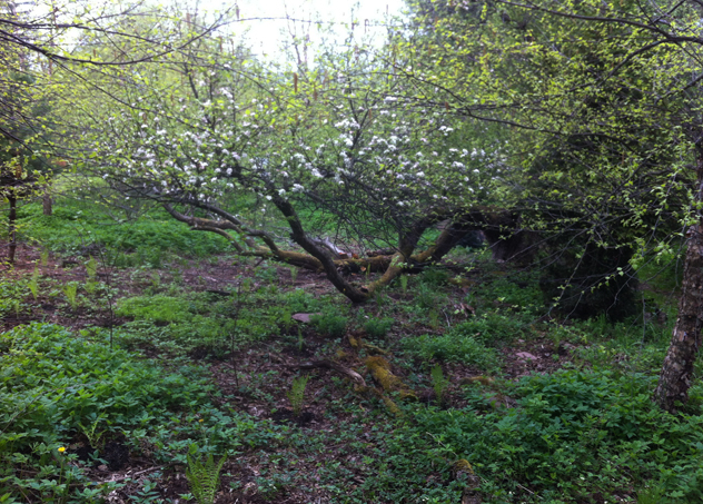 Exposed apple tree after clearing hundreds of brambles