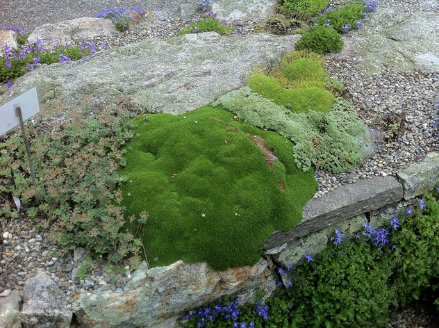 Minuartia Stellata is the green mounded alpine