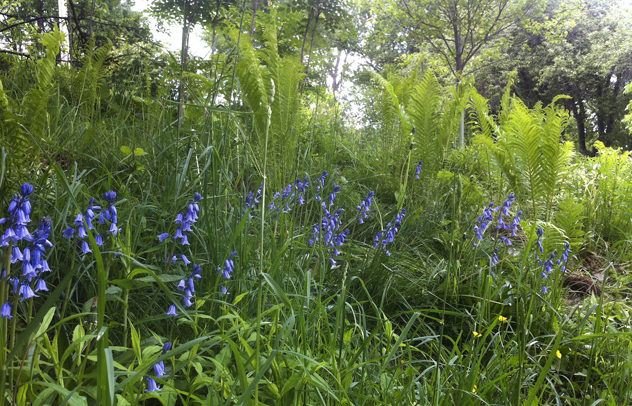 Ostrich ferns from friend transplanted to left side of driveway with Spanish Bluebells