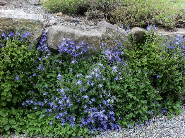 Capanula garganica 'W. H. Paine' growing in Stonecrop walls