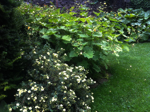 Potentilla 'Primrose beauty' with Kirgengeshoma palmate