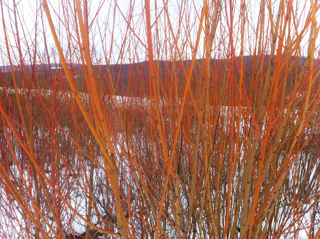 Collection of brightly stem willows.