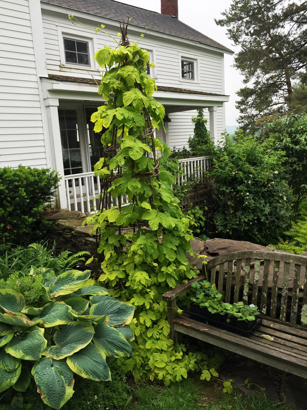 Two weeks later the hops has covered structure