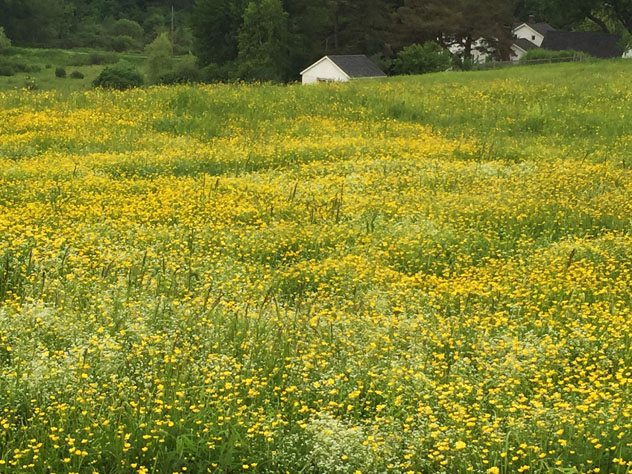 Fields behind th ehouse full of buttercups and bed straw- a backdrop to the garden
