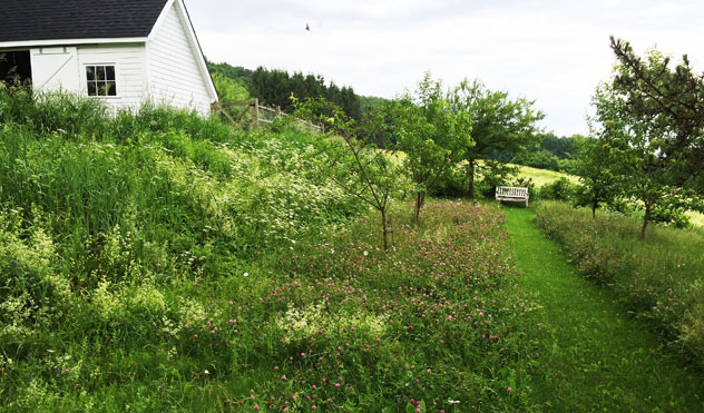 Small plum orchard, bank is bedstraw and bishop weed, tall grass is red clover and daisy