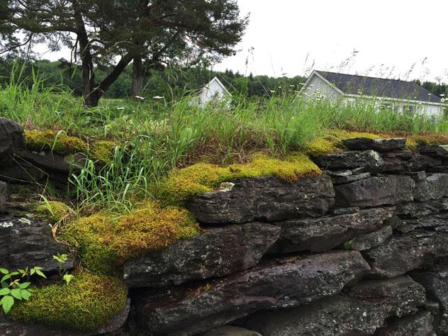 Moss on old barn wall