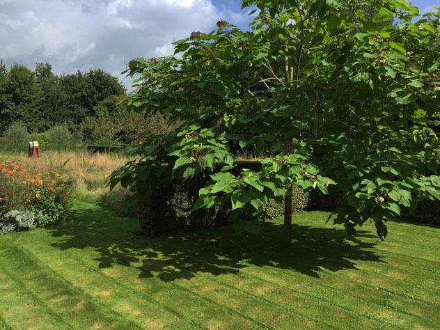 Catalpa in the empty room before meadow planting