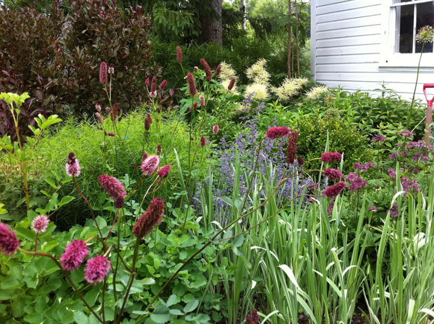 "Iris variegates in front not in bloom, Astrantia 'Ruby's Wedding"" far right, Sanguisorba obtusa front left, Nepeta 'Six Hills Giant' center."